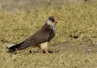 Amur Falcon – female