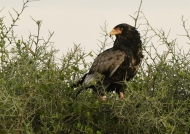 Bateleur – female