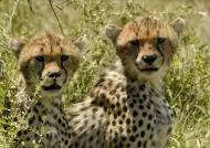 Young Cheetahs curious