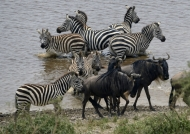 Plains Zebras in the water….
