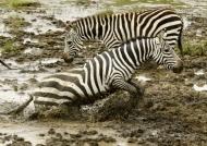 Plains Zebras also named….