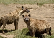 Spotted Hyena clan