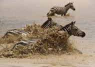 Plains Zebras frightened….