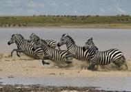 Herd of Plains Zebras….
