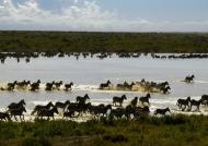 …Plains Zebras enjoying water
