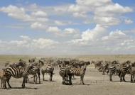 Herd of Plains Zebras