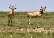 Hartebeest run up to 70 km/h