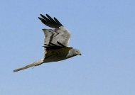 Montagu's Harrier – male