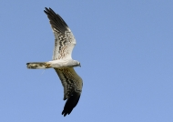 Montagu's Harrier – female