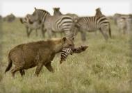 Female with Zebra leg