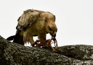 Tawny Eagle eating a prey