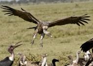 Ruppell's Vulture landing