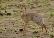 Dik-dik – female
