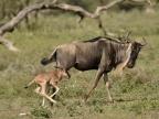 Tanzania Ndutu-Gnus & newborn