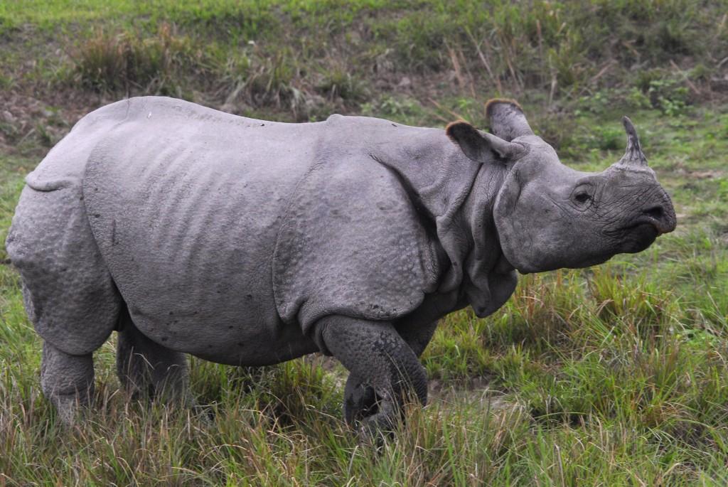 Single horn rhino