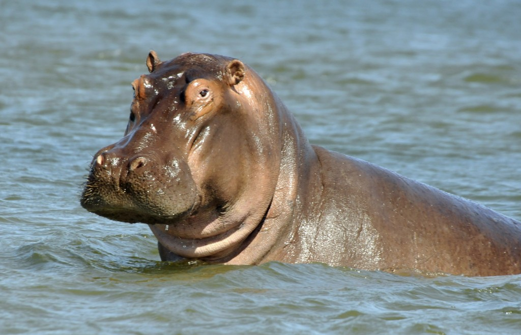 inquisitive hippo - Pictures Of Hippos