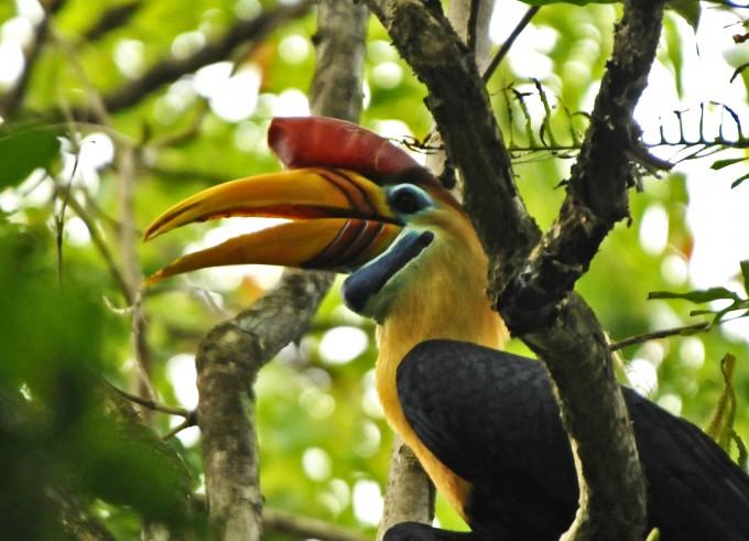 Knobbed Hornbill33