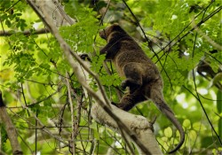 Sulawesi Bear Cuscus (6A)