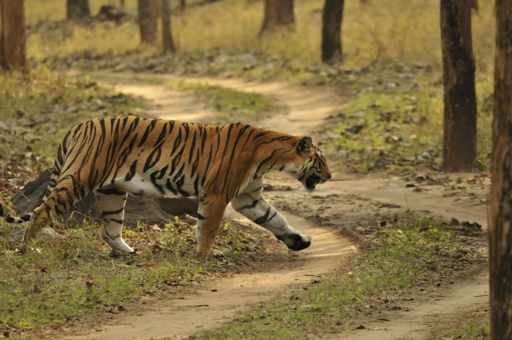 Pench India  city photo : india tigers pench tadoba so sweet cat tiger pench n p pench tiger s ...