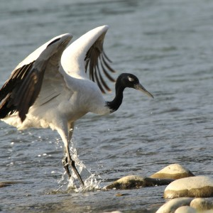 Black-necked Crane (4)
