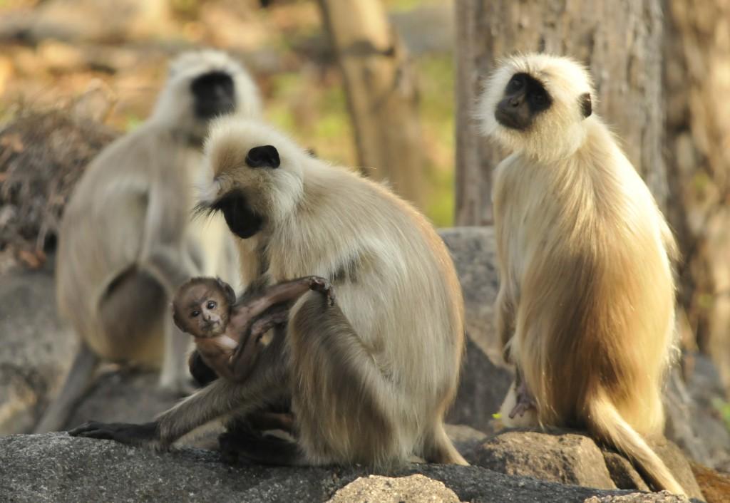 India Hanuman Langurs