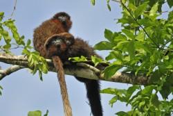 Dusky Titi Monkey