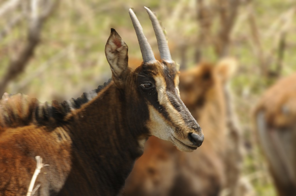 Zambian sable antelope