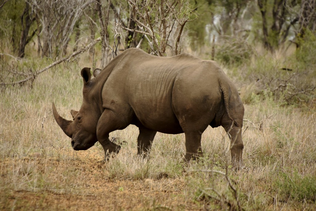 N White Rhino South Africa - White R...