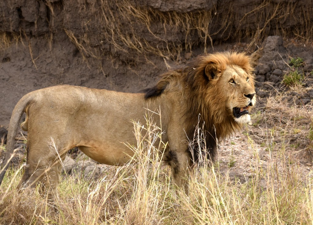 lions - photo #7
