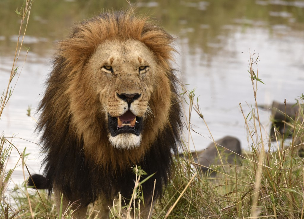 North Tanzania - Lions