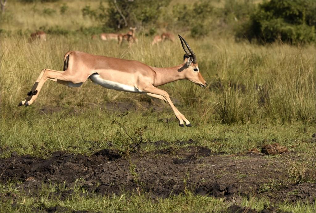 impala animal jumping - 1024×692