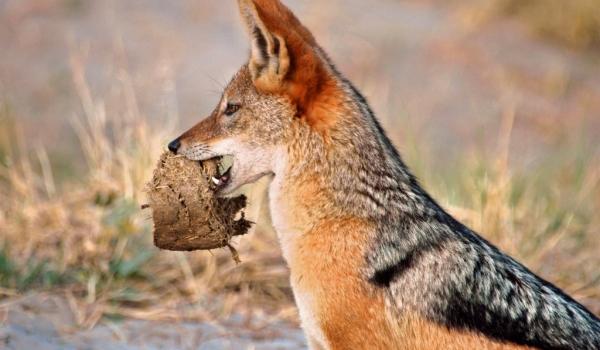 Botswana Mammals