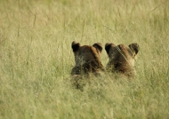 Lions peering at the grass