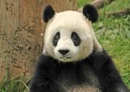 China – Pandas