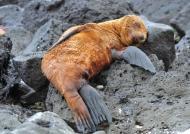 Galapagos – Mammals