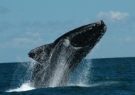 Argentine – Southern Right Whale