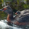 Iceland – Birds