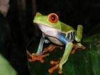 Costa Rica – Batrachians/Reptiles