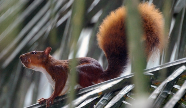 Amazon Red Squirrel