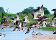 Pantanal – Black Skimmers