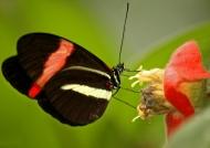 Postman Longwing Butterfly