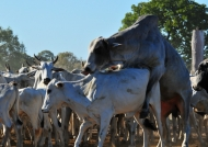 Cattle at work