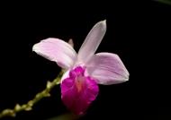 Costa Rica Wild Orchid