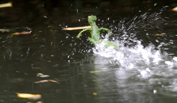 Basilisk running on water