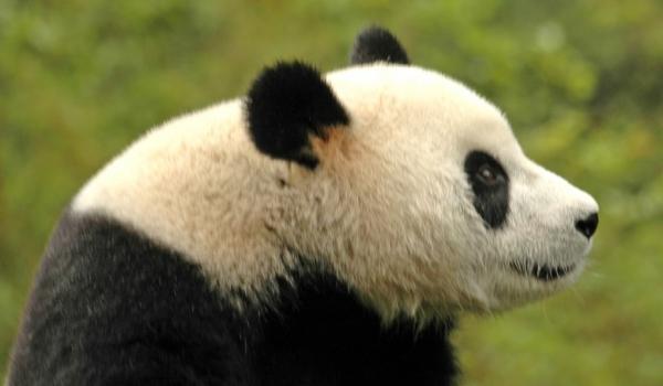 Chine Giant Panda in Wolong