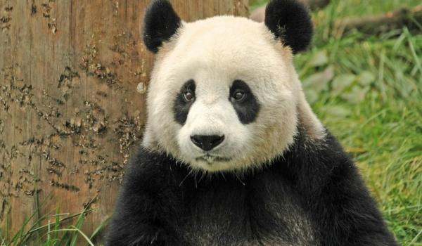 China  – Wolong before earthquake – Giant Panda