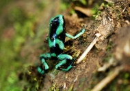 Green & Black Dart Frog