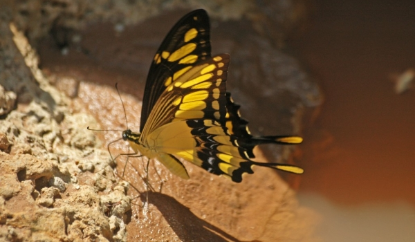 King Page Swallowtail