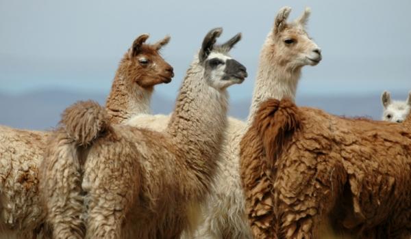 Argentina Llamas