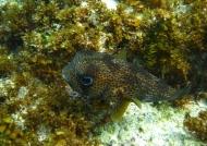 Long-spine Porcupinefish